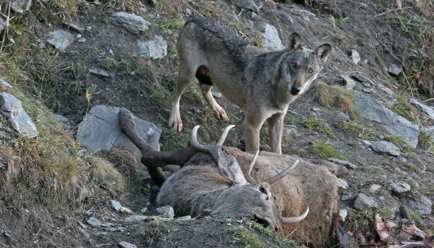 Tra cane e lupo: problematiche, sicurezza e prevenzione. A Fenestrelle, un convegno per fare il punto sul grande predatore
