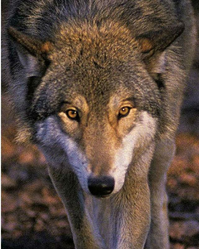 Il racconto del lupo