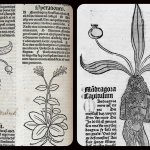 A sinistra: Female mandrake, 1491  Wellcome Collection - CC BY. A destra,  The mandrake from Hortus Sanitatis. Credit:  Wellcome Collection - CC BY