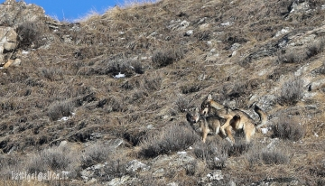 Colti in flagrante, un accoppiamento tra lupi in natura