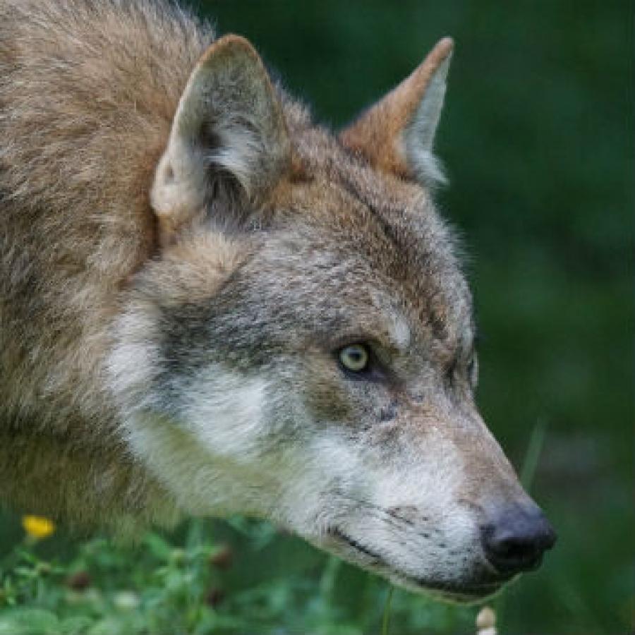 Quanti sono i lupi in piemonte piemonteparchi for Deputati e senatori quanti sono