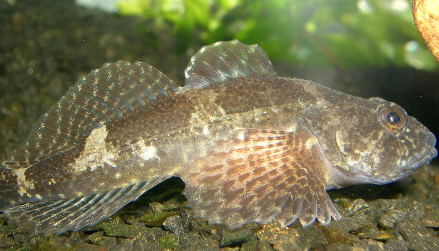 Esemplare di Cottus gobio By Piet Spaans [CC BY-SA 2.5  (https://creativecommons.org/licenses/by-sa/2.5)], via Wikimedia Commons