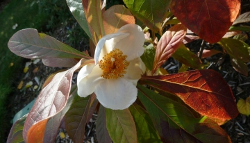 Franklinia alatamaha |  CC-BY-2.0 Flickr Photographs by Wendy Cutler
